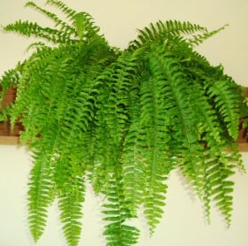 Boston Fern - picture credit: ourhouseplants.com