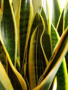 Mother-in-Law's Tongue / Snake Plant - picture credit: ourhouseplants.com
